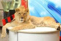 Львенок и львица на встречу гостей