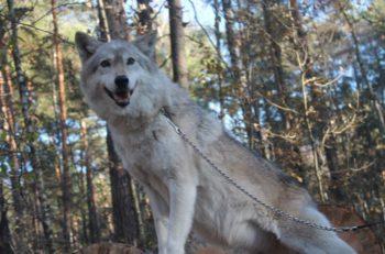 Пикник с волками