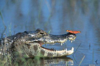 Продолжительность жизни крокодила