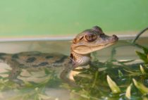 Содержание крокодила в домашних условиях