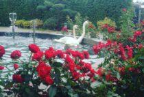Лебеди на праздник