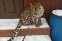 Леопард на праздник
