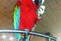 Попугай Макао красный