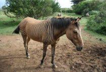 Кто такие зеброиды и чем они отличаются от зебр?