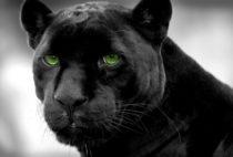 Пантера — богиня ночного мира