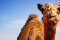 Когда верблюд линяет. Правильный уход за верблюдами.