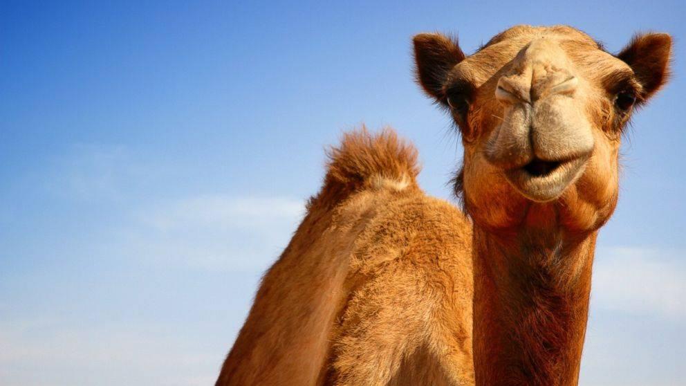Уход за верблюдом