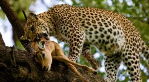 Охота на леопардов